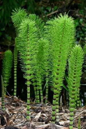 شامپو تقویت کننده مو حاوی عصاره گیاه دم اسب و گوارانا آموس وان