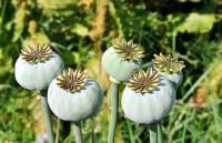 عرق گیاهی غلیظ یا همان شربت گیاهی مخلوط شقاقل ، یونجه خشخاش زوریکچاق کننده و انرژی زا